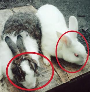 Perbedaan Kelinci Jantan dan Betina
