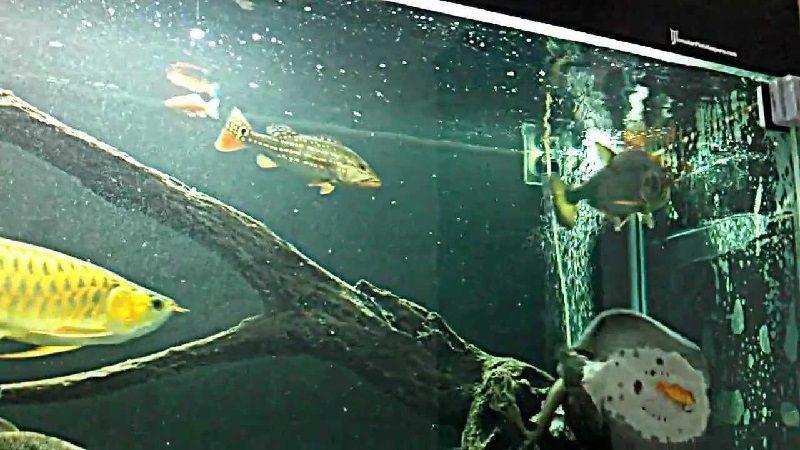 Gambar Goliath African Tiger Fish Teman Ikan Arwana Di Akuarium