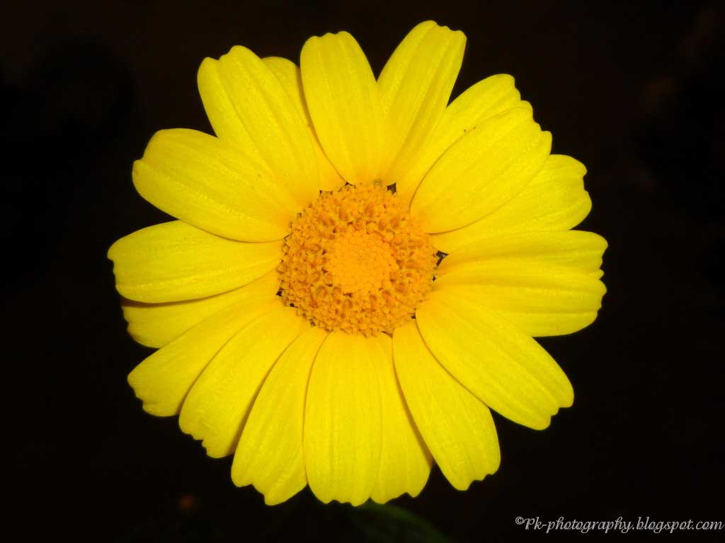 Yellow Daisy Flowers Nature Cultural And Travel Photography Blog