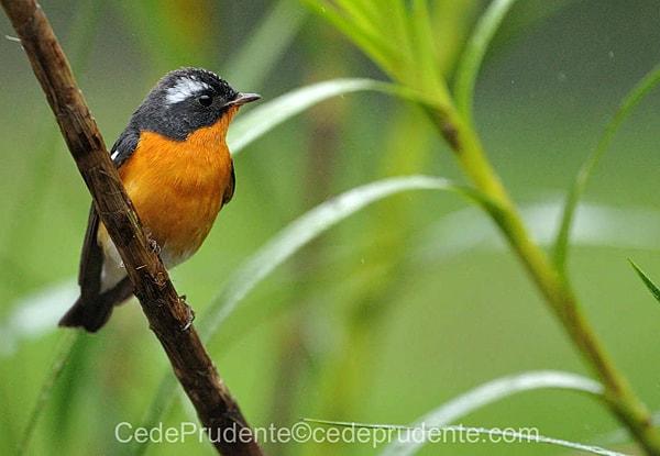 Mugimaki Flycatcher Sabah