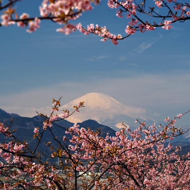 西平畑公園 河津桜 富士山