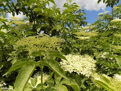 Μάιος-Σαμπούκος: Βότανα και φαρμακευτικά φυτά της Ελλάδας