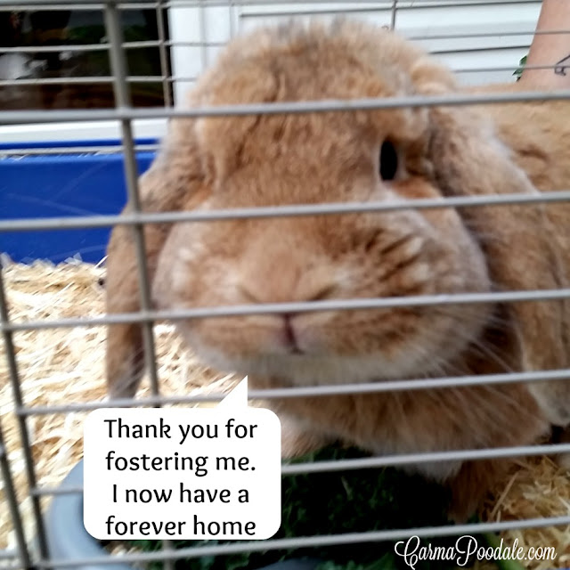 Rabbit in a cage saying Thank you for fostering me, I now have a forever home""