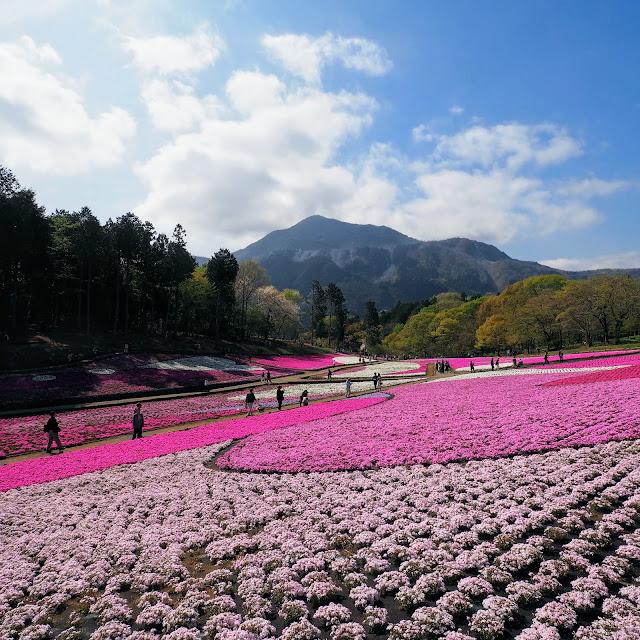 秩父 羊山公園 芝桜 武甲山