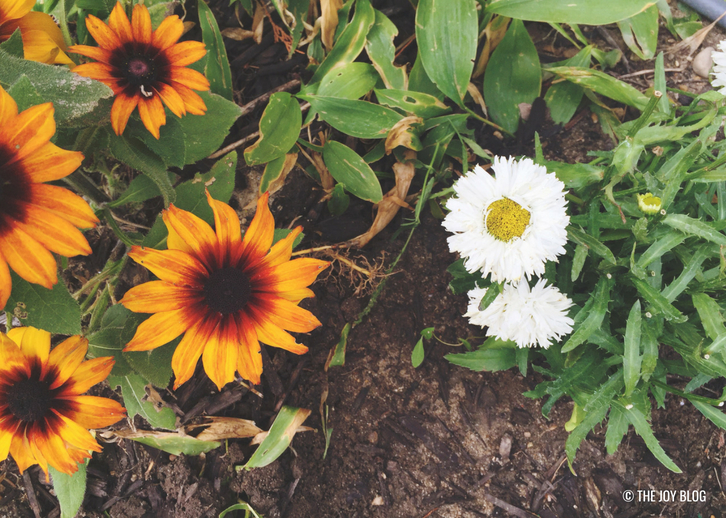 Black Eyed Susan and Shasta Daisy varieties // A Bee Friendly Flower Bed - Update | www.thejoyblog.net