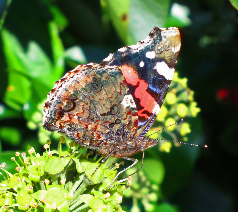 Red Admiral Butterfly - Wings Closed