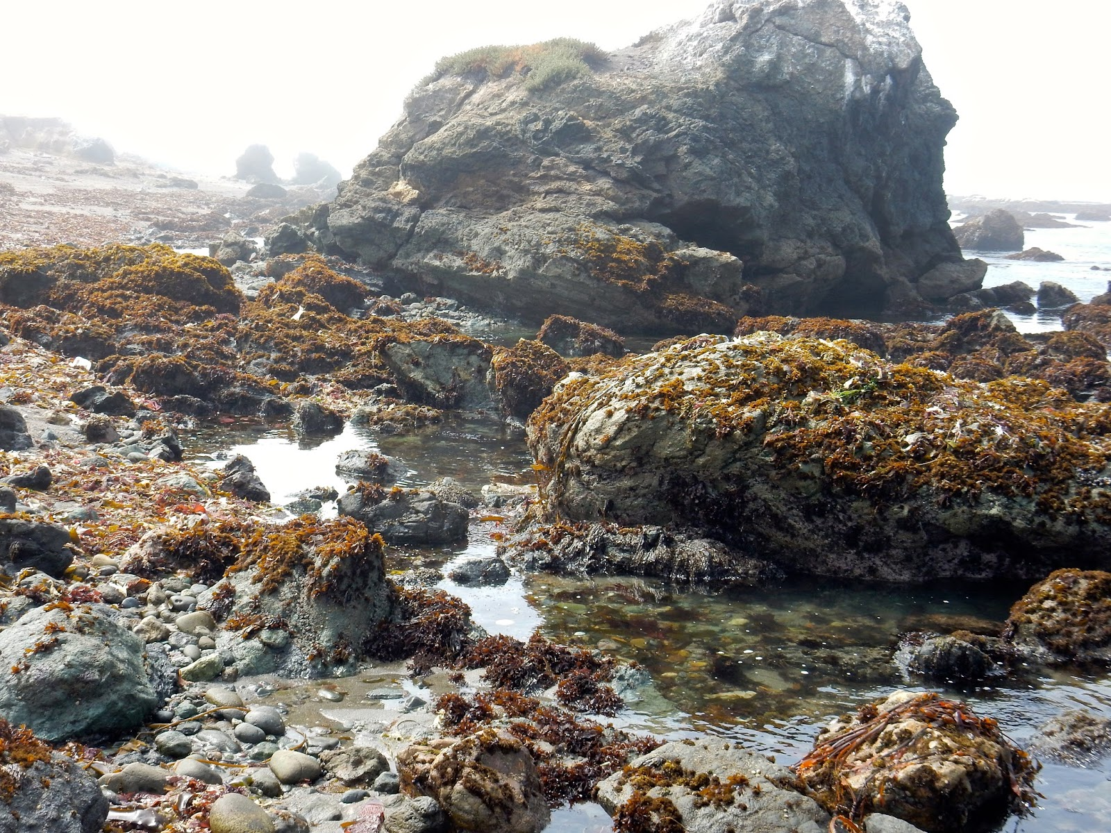 oregon tide pool identification - Google Search | Rock ...  |Pacific Northwest Tide Pool