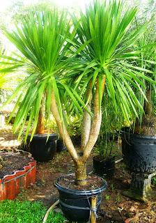 Pandan Bali - Yucca elephantipes - Giant yucca, spineless yucca, palm-lily - honaylandscape.blogspot.com