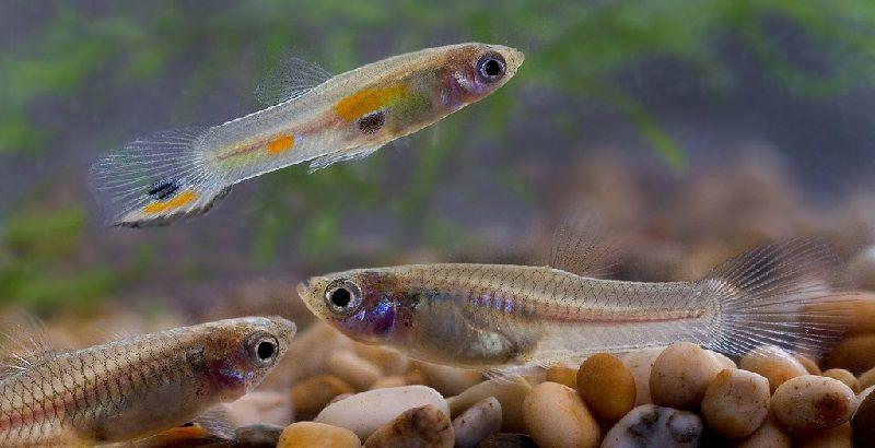 Gambar Ikan Ikan Pemakan Jentik Nyamuk - Ikan Guppy