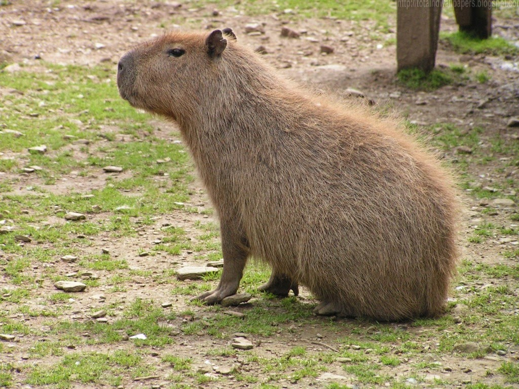 Capybara hd wallpapers i wallpaper picture photo - Amazon rainforest animals wallpaper ...