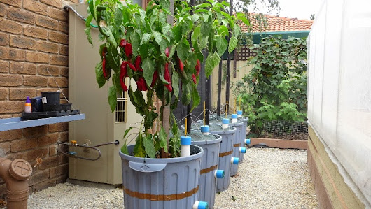 Growing Capsicum