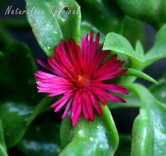 Flor característica de la planta Rocío, Aptenia cordifolia