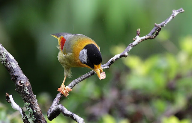 Silver-eared Mesia Feeding Moth Series