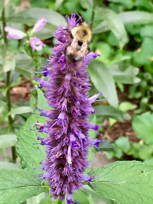 bumblebee and anise hyssop