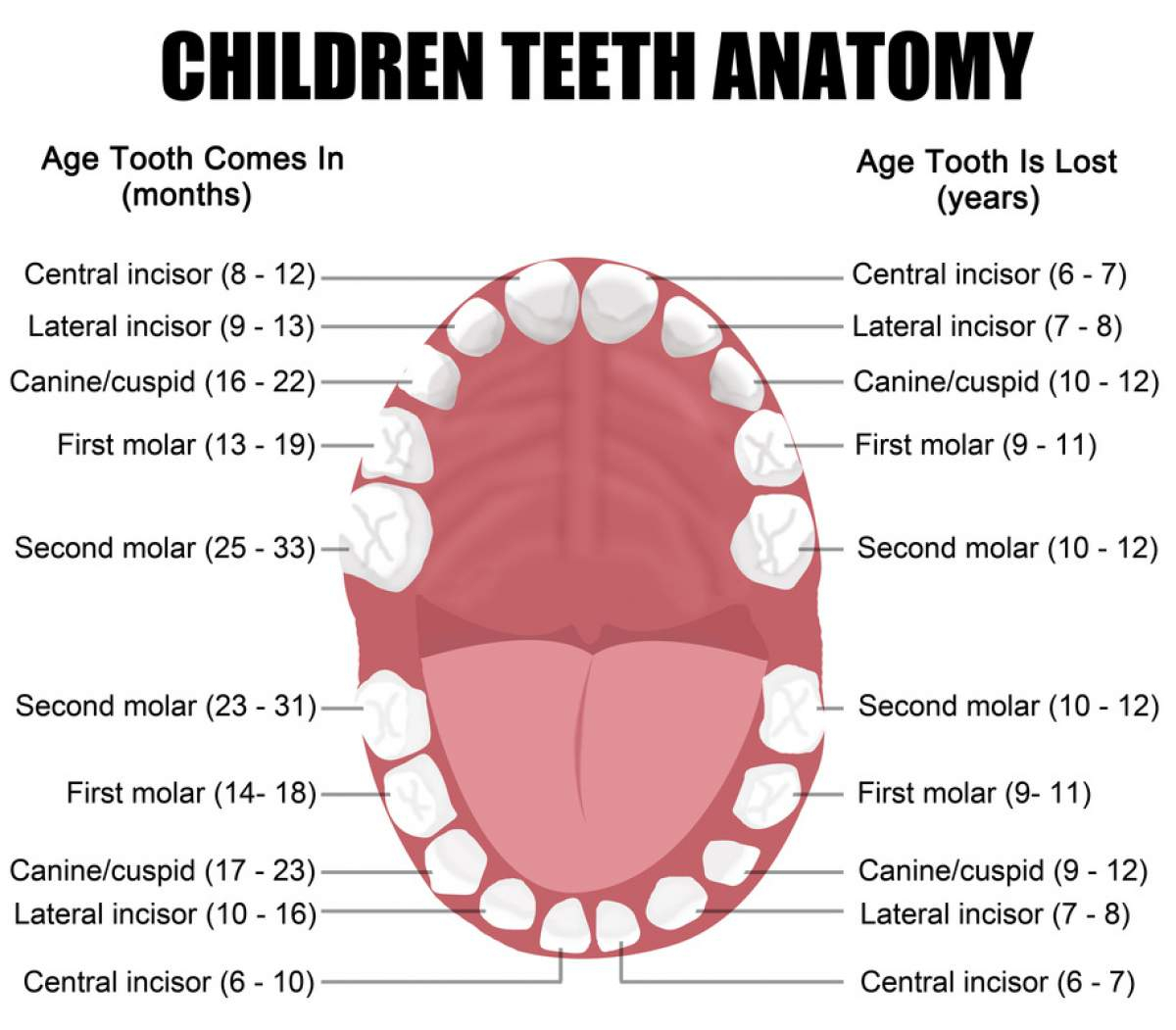 Dental Mouth Diagram For Education
