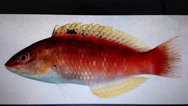 卯澳漁村: 西氏擬降頭魚(紅礫仔)