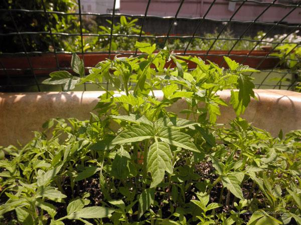 Plantas de tomate en semillero