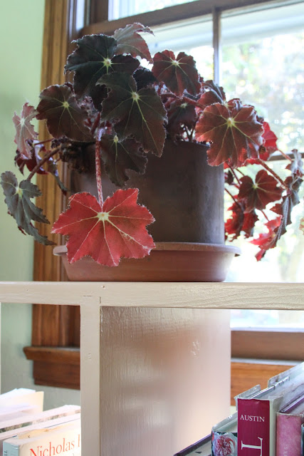 begonias, rhizomatous begonias, houseplants, Anne Butera, My Giant Strawberry