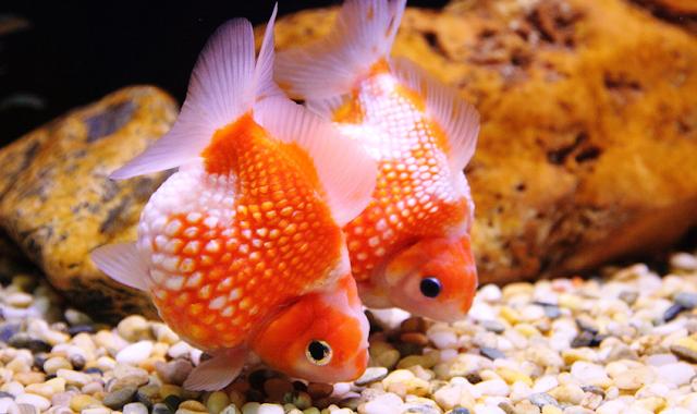 Dunia Ikan Hias - Tips Cara Merawat Ikan Hias Maskoki