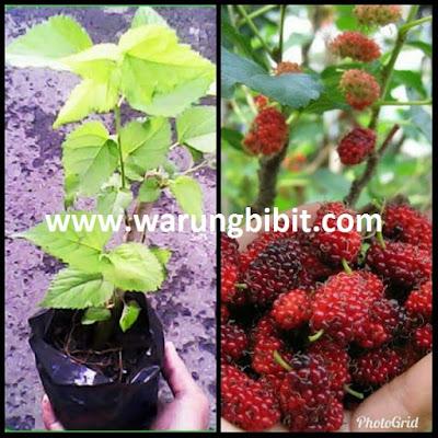 bibit tanaman murbei, jual murbei, budidaya merbei, manfaat murbei, menanam murbei, berkebun  murbei