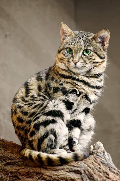 African Black Footed Cat