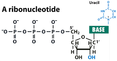 MCQ on Biochemistry - Nucleic acids (RNA)