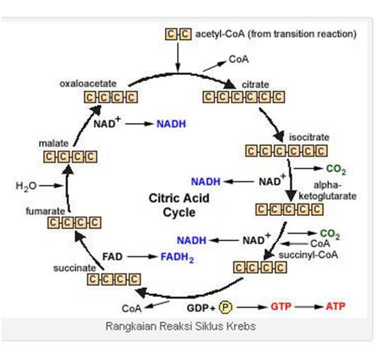 Update artikel kali ini Caratip Media akan mengulas ihwal apa itu Siklus Krebs Lengkap (Sejarah, Skema dan Hasilnya)