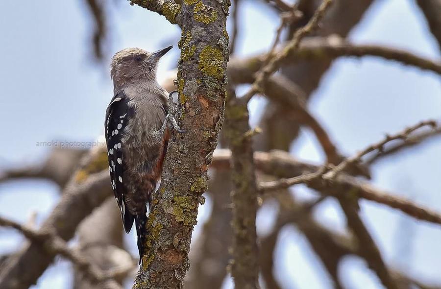 Arabian Woodpecker