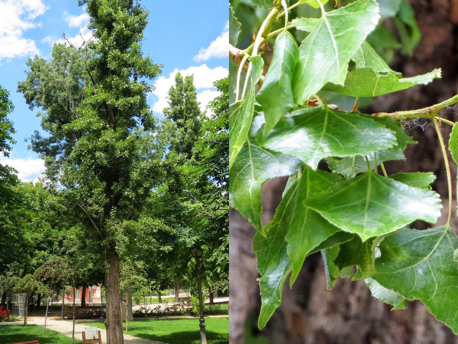 Parque del Retiro. Madrid. Álamo negro / Black poplar-tree