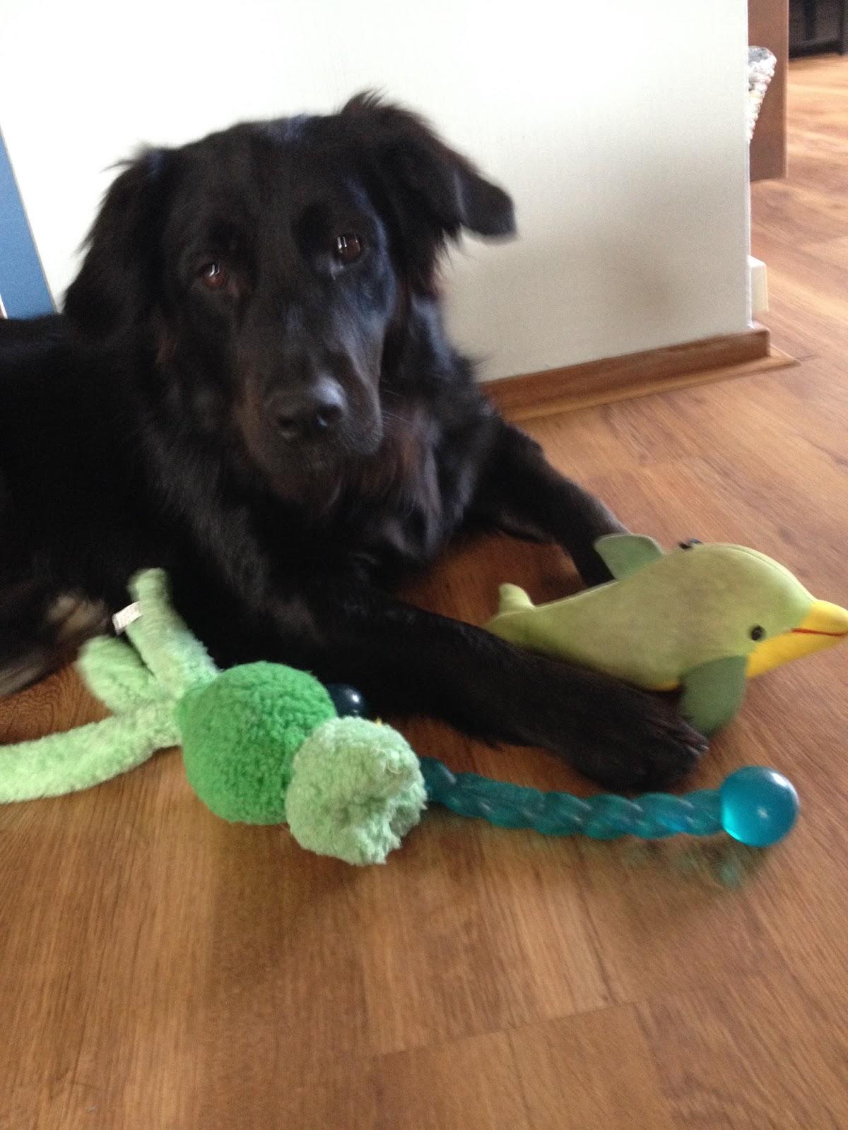 Geleidehond Wilka ligt bij haar favoriete speeltjes