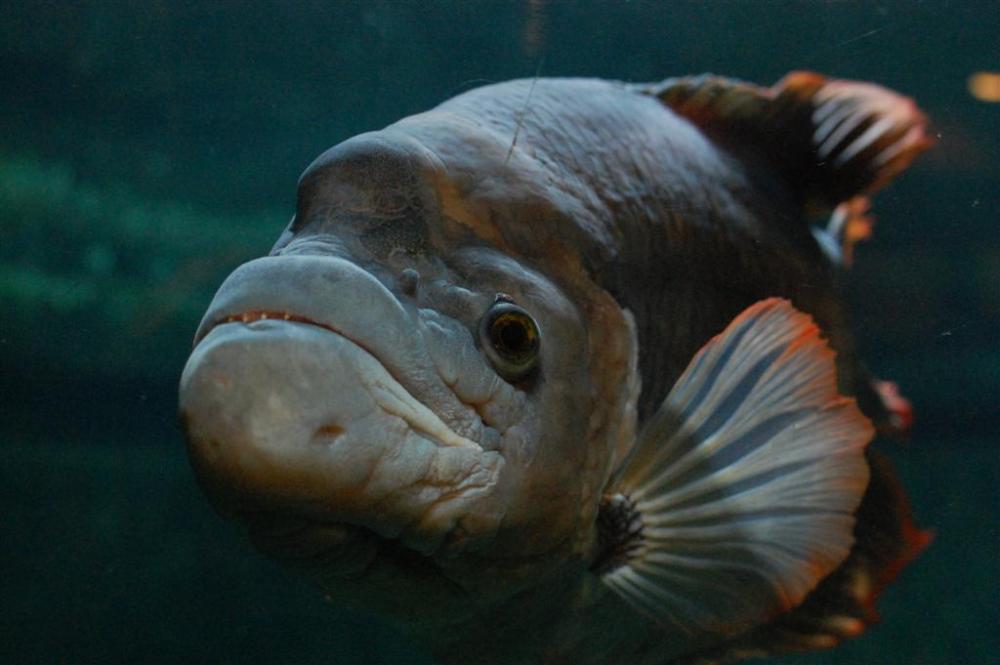 Gurami Sabah Si Ikan Gurame Raksasa Berekor Merah Nakama Aquatics