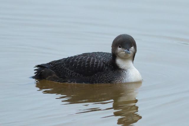 Pacific Diver - Druridge Bay CP, Northumberland