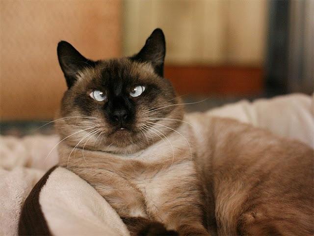 Koty z zezem. Cross eyed cats.