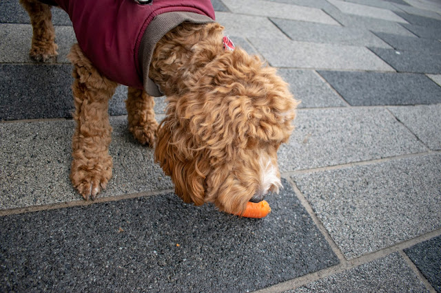 Red and white cockapoo puppy eating a carrot