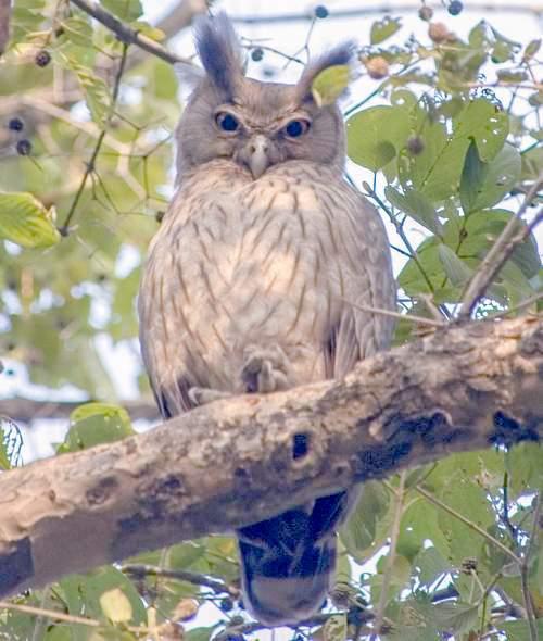 Dusky eagle-owl - Bubo coromandus