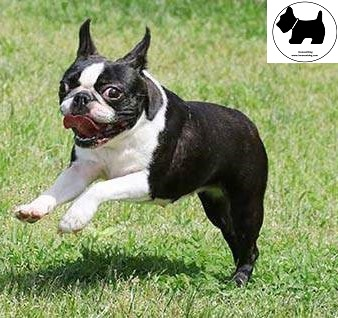 Boston Terrier, dog information, Dog facts, Best dog Breeds