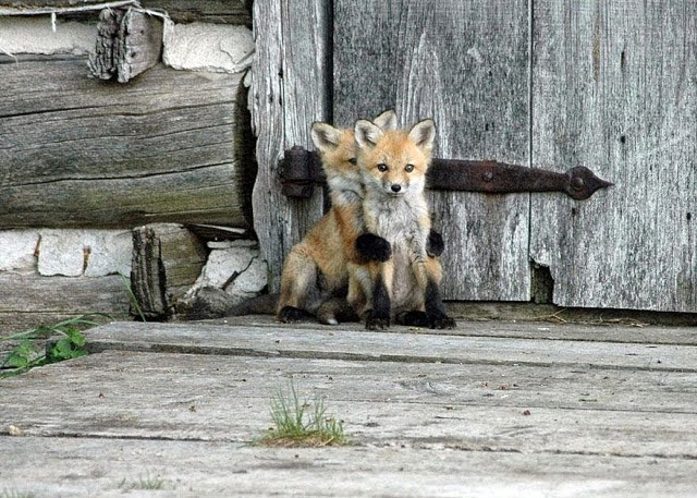 4. These 11 Photos Will Make You Fall In Love With Foxes