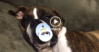 dog, sleeps, pacifier, snoring, Princes Leia