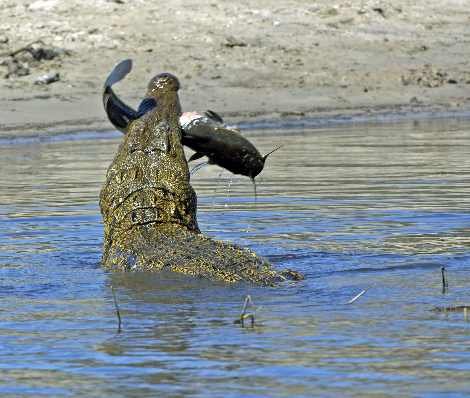 Beautiful Animals Safaris: The African Nile crocodile