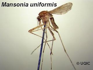 mansonia uniformis