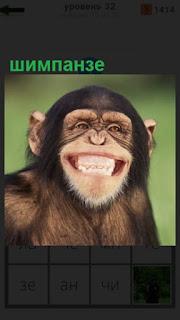 шимпанзе улыбается во весь рот, в результате гримаса на лице