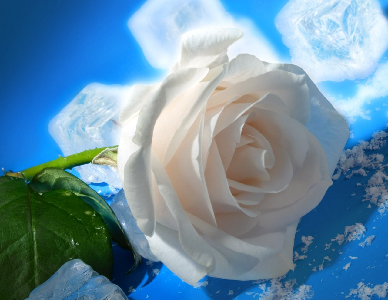 ... Rose HD photos flowers wallpapers collections free Download | PIXHOME
