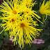 Chrysanthemum x morifolium - Da Ásia para o Mundo