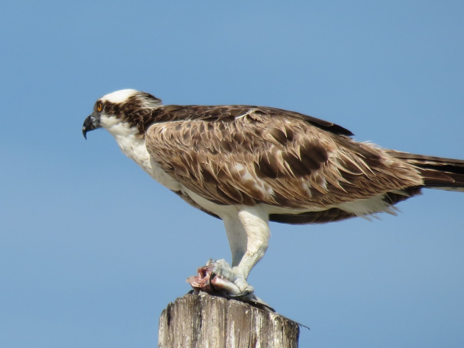 Osprey With Fish The Are Dark Brown Above And White Below