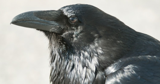White Wolf : 10 Fascinating Facts About Ravens