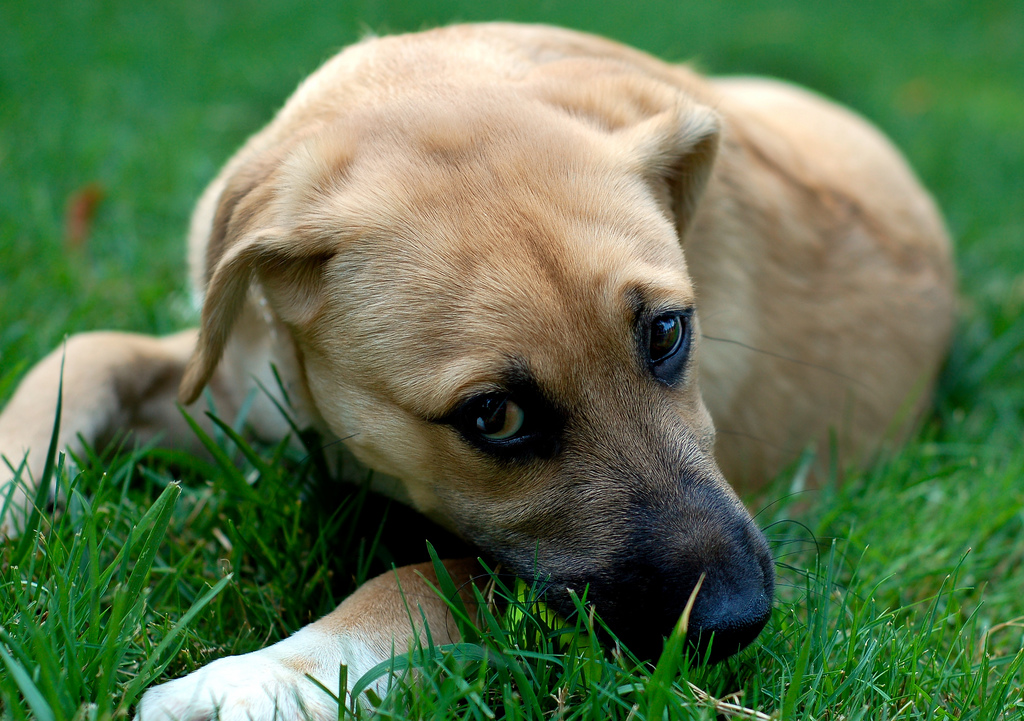 Cute Dogs German Shepherd Lab Mix