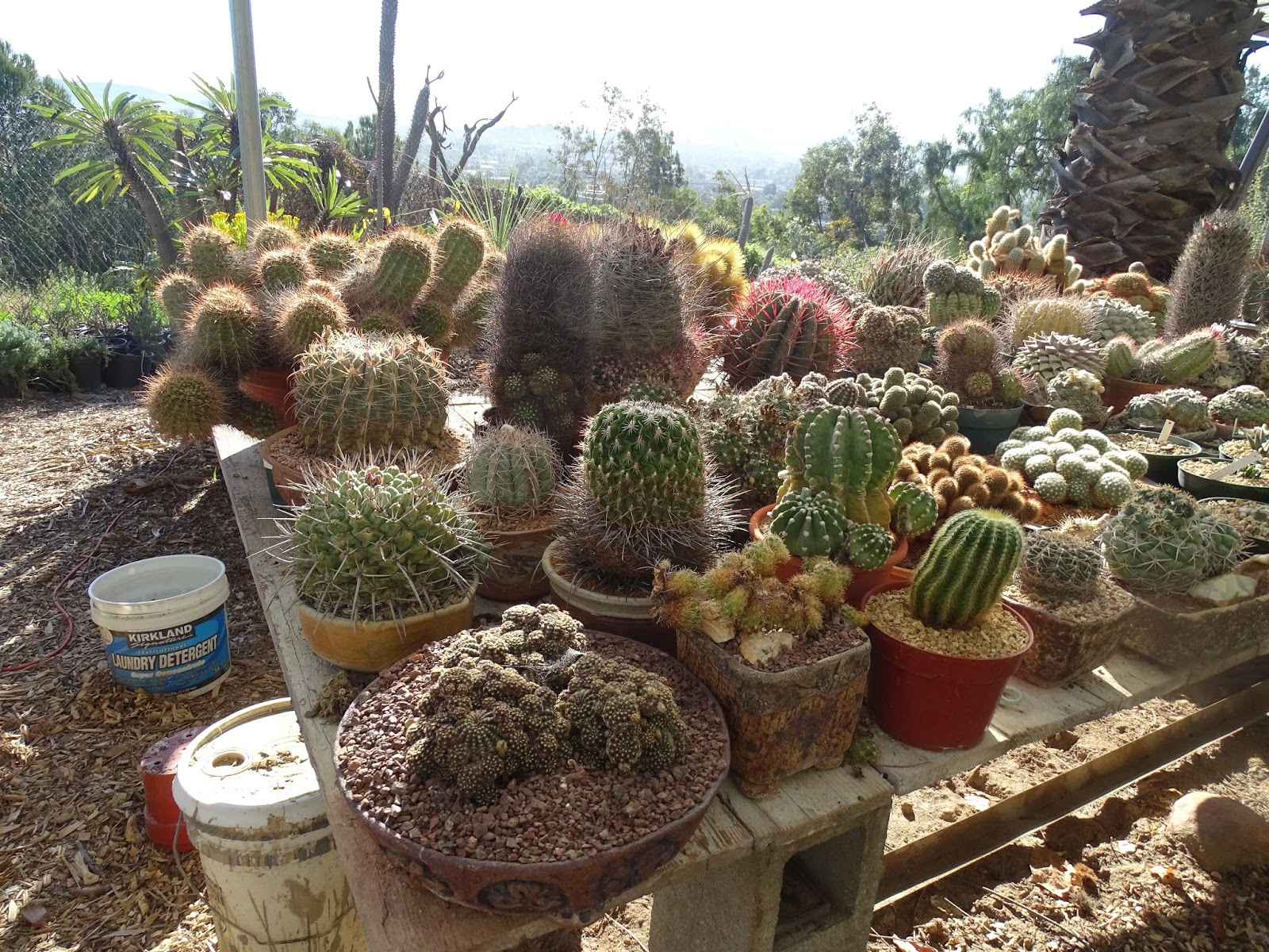 Cacti And Other Succulents Grown To Such Large Sizes Looking So Healthy Do Linger A Bit Over These Realize That Each Of Thousands