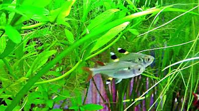 Ikan X Ray Tetra