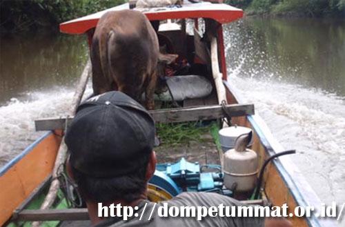 MENEBAR QURBAN : Dompet Ummat Pontianak juga menebar hewan qurban hingga ke pedalaman di Kalimantan Barat. Photo cuurtesy Dompet Ummat