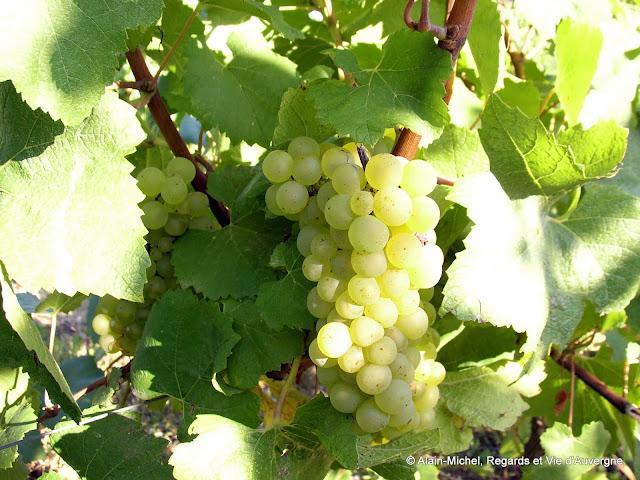 cep de vigne raisin blanc